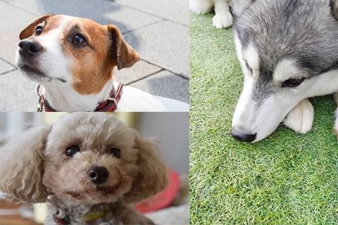 遺伝性の白内障にかかりやすい犬種は?